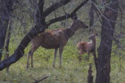 deer n fawn