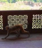 monkey fort