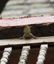 peek a boo lizard