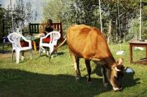 sara n cow