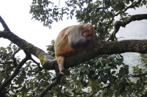 shimla sleeping monkey
