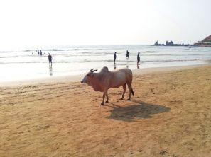 Even the cows love the beach in Arambol