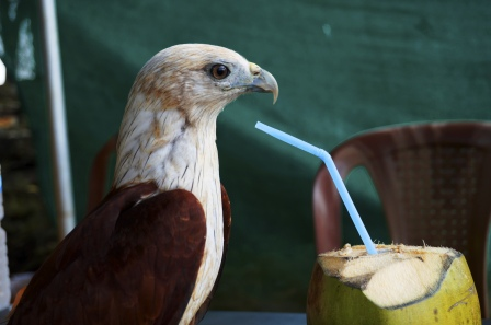 eagle drinking coconut
